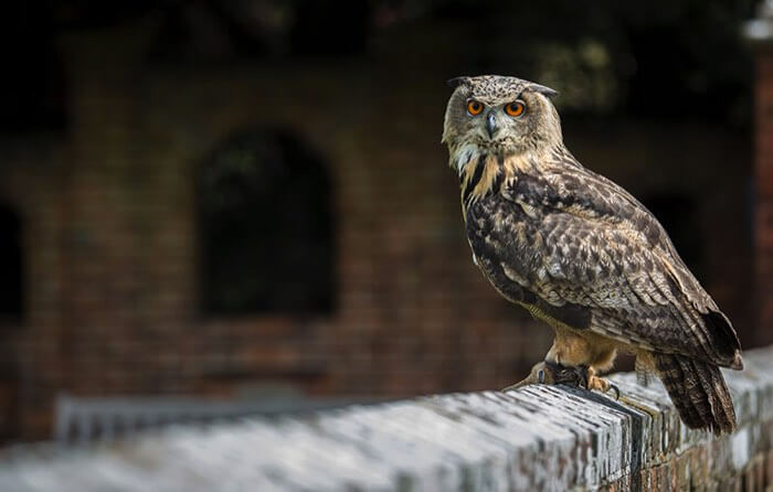 Owl perched on a wall at Eastwell Manor