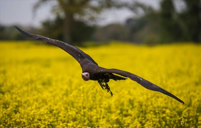 Bird of prey flying through the sky