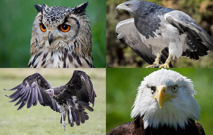 European Eagle Owl, Hooded Vulture, Chilean Blue Eagle and Bald Eagle