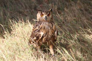 bengal-eagle-owl
