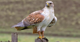 brown and white hawk