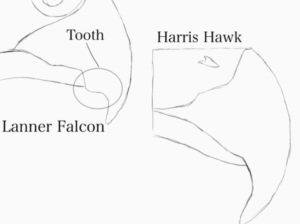 difference between hawk and falcon diagram