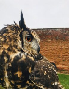 mackinders-eagle-owl