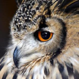 owl closeup