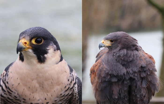 What's the Difference Between a Hawk and a Falcon?