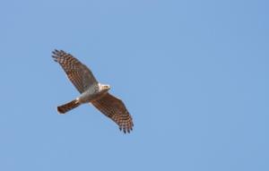sparrowhawk flying
